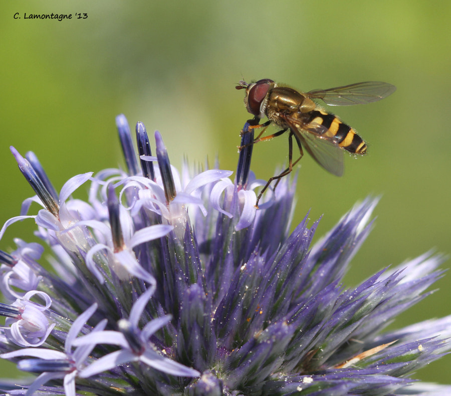Hoverfly on Globe Thistle. I thought it looked like he was drinking from a straw.