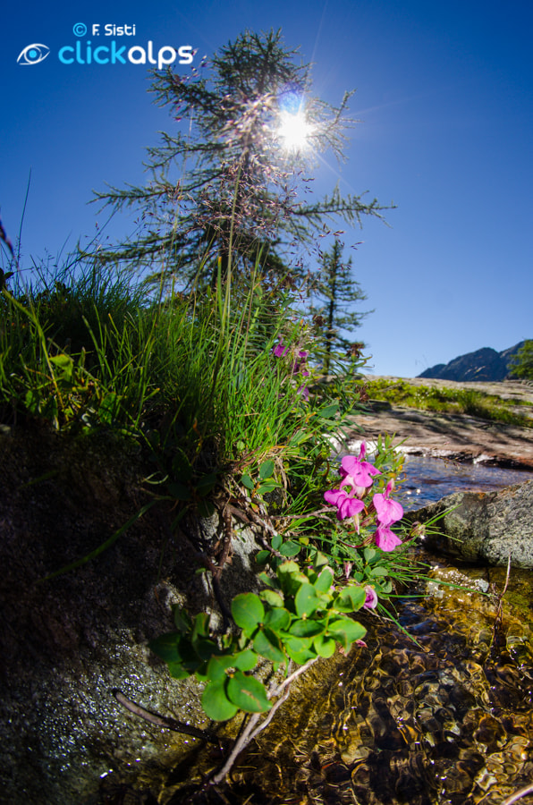 Photograph Pedicularis kerneri (Vallone di Forzo, Valle Soana, Piemonte, Parco Nazionale Gran Paradiso) by Francesco Sisti on 500px