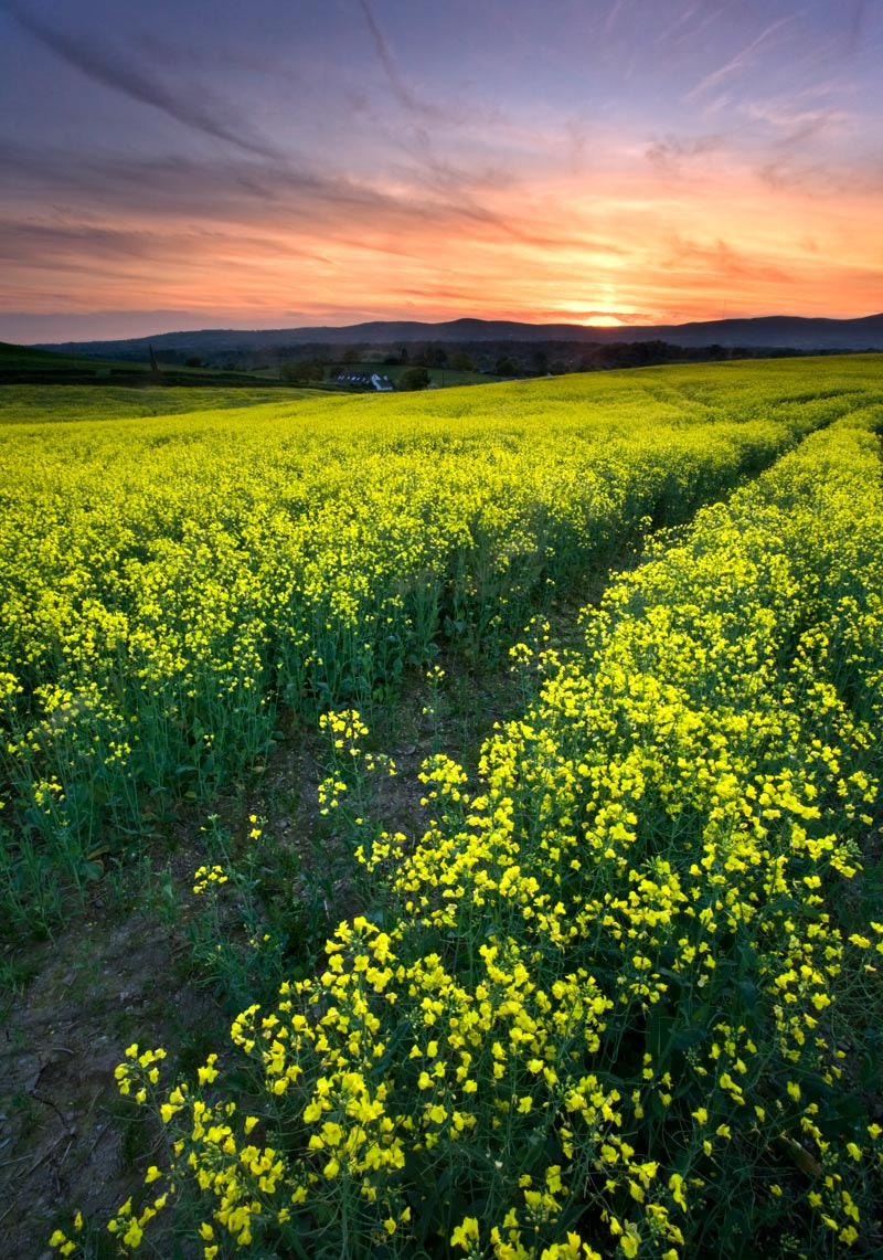 Photograph Rapeseed Sunset by Stephen Emerson on 500px