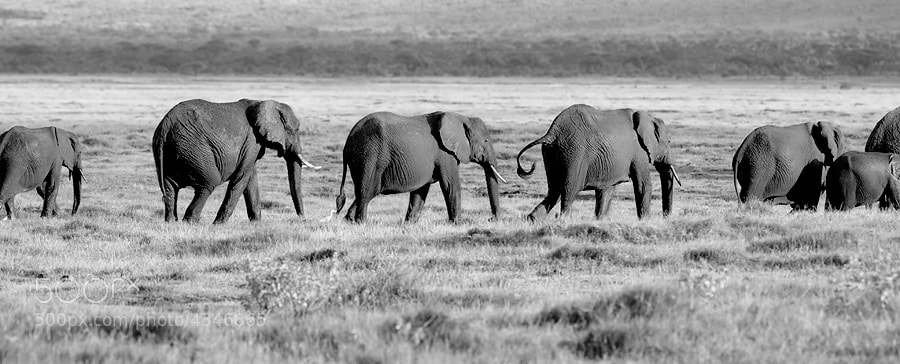Photograph Elephant Chain Gang by Dean Tatooles on 500px