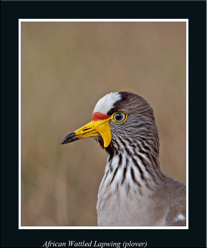 Photograph African Wattled Lapwing (Plover) by Ina Turner on 500px