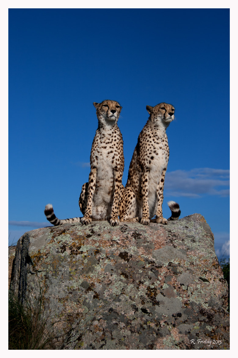 Photograph Two Cheetahs by Regina F on 500px