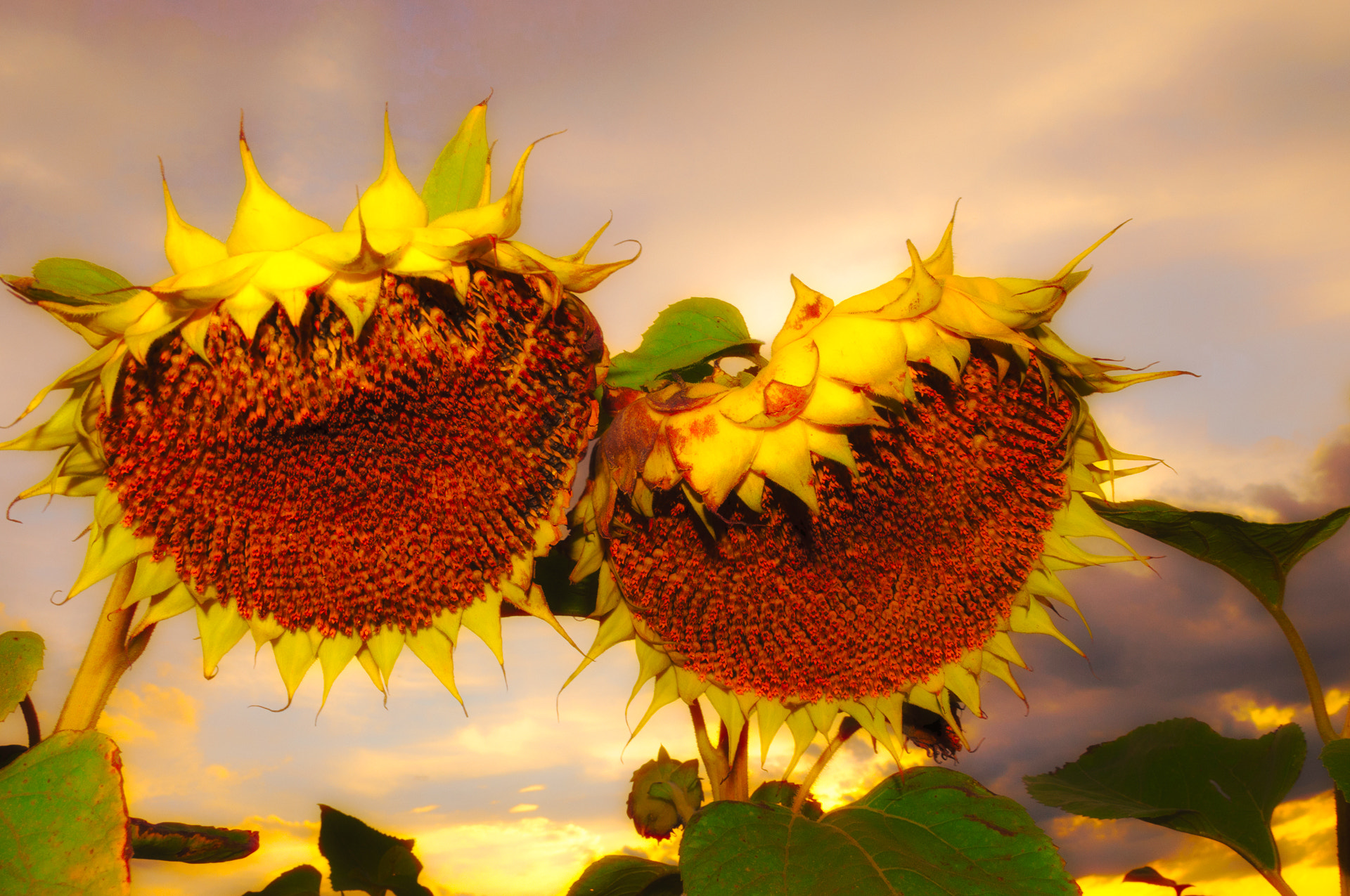 Photograph Sunflowers by Ernst Gamauf on 500px