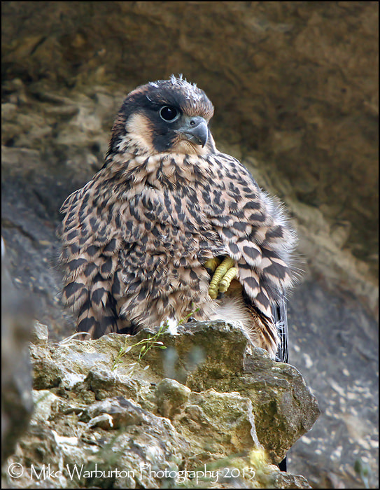 Photograph Peregrine by Mike Warburton on 500px