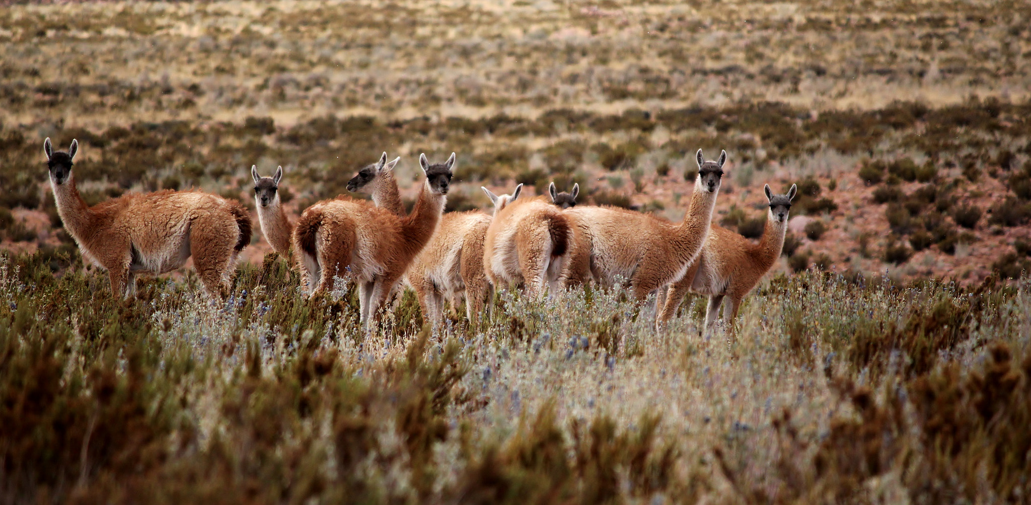 Photograph Guanacos by Christine F. on 500px