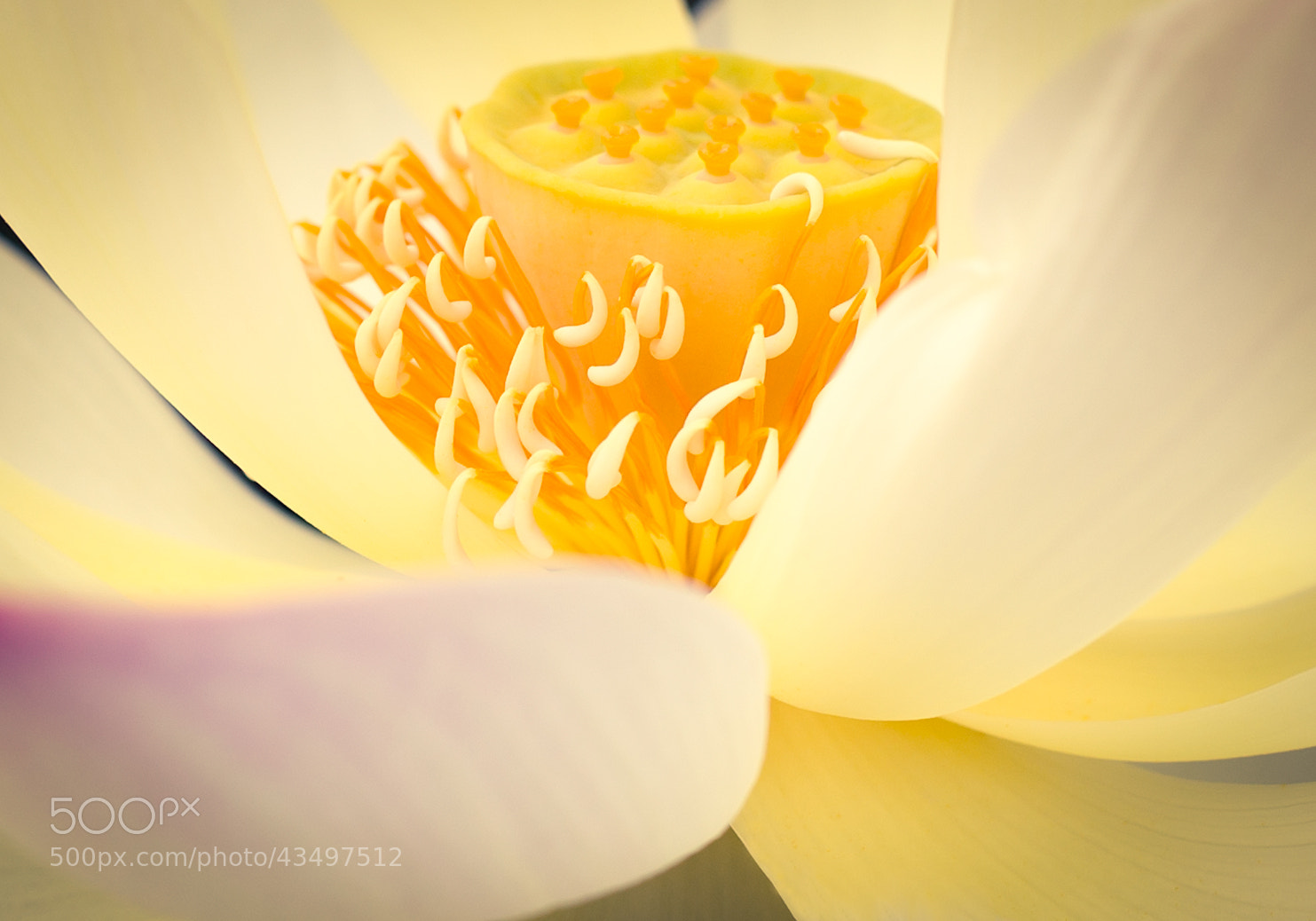 Photograph Lotus - the flower of summer by Team B&K on 500px