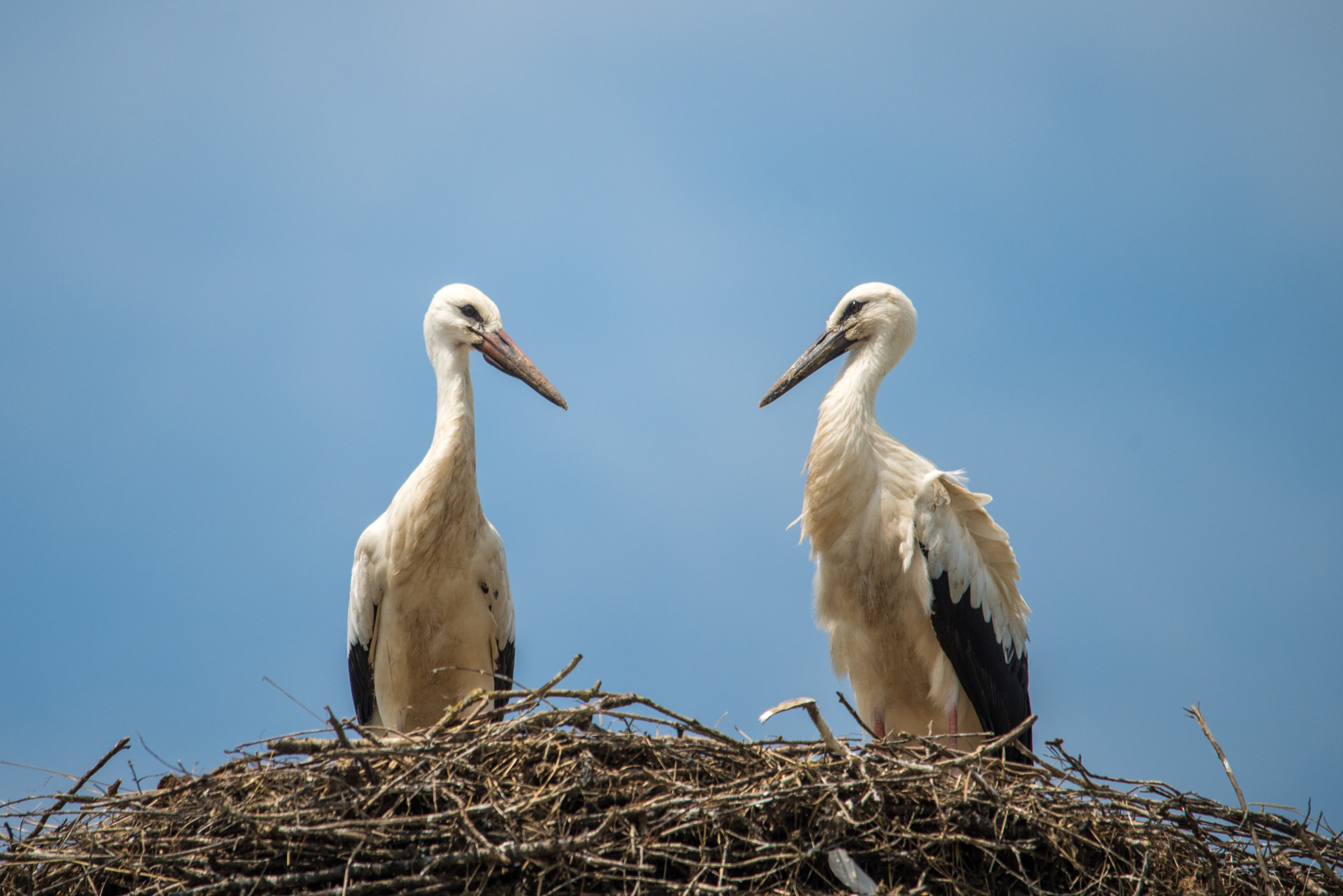 Photograph white storks (01) - dialogue by Vlado Ferencic on 500px