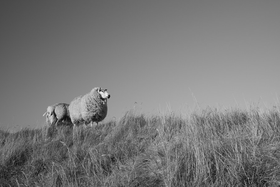 Photograph Rømø Sheep by Max Sammet on 500px