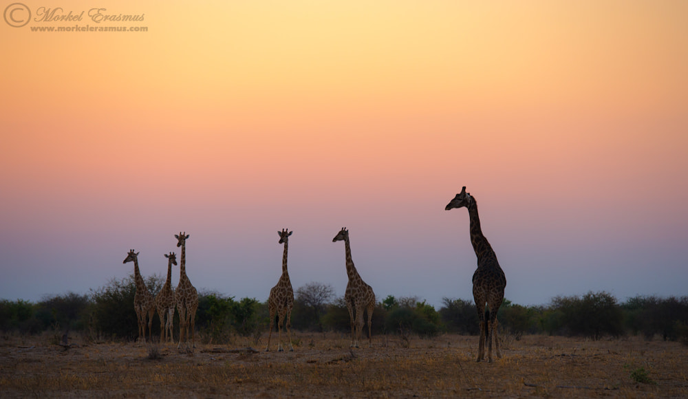 Photograph Sunset Giraffes by Morkel Erasmus on 500px