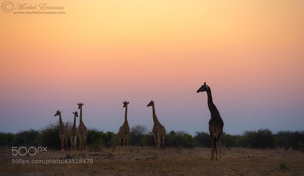 Photograph Sunset Giraffes by Morkel Erasmus on 500px