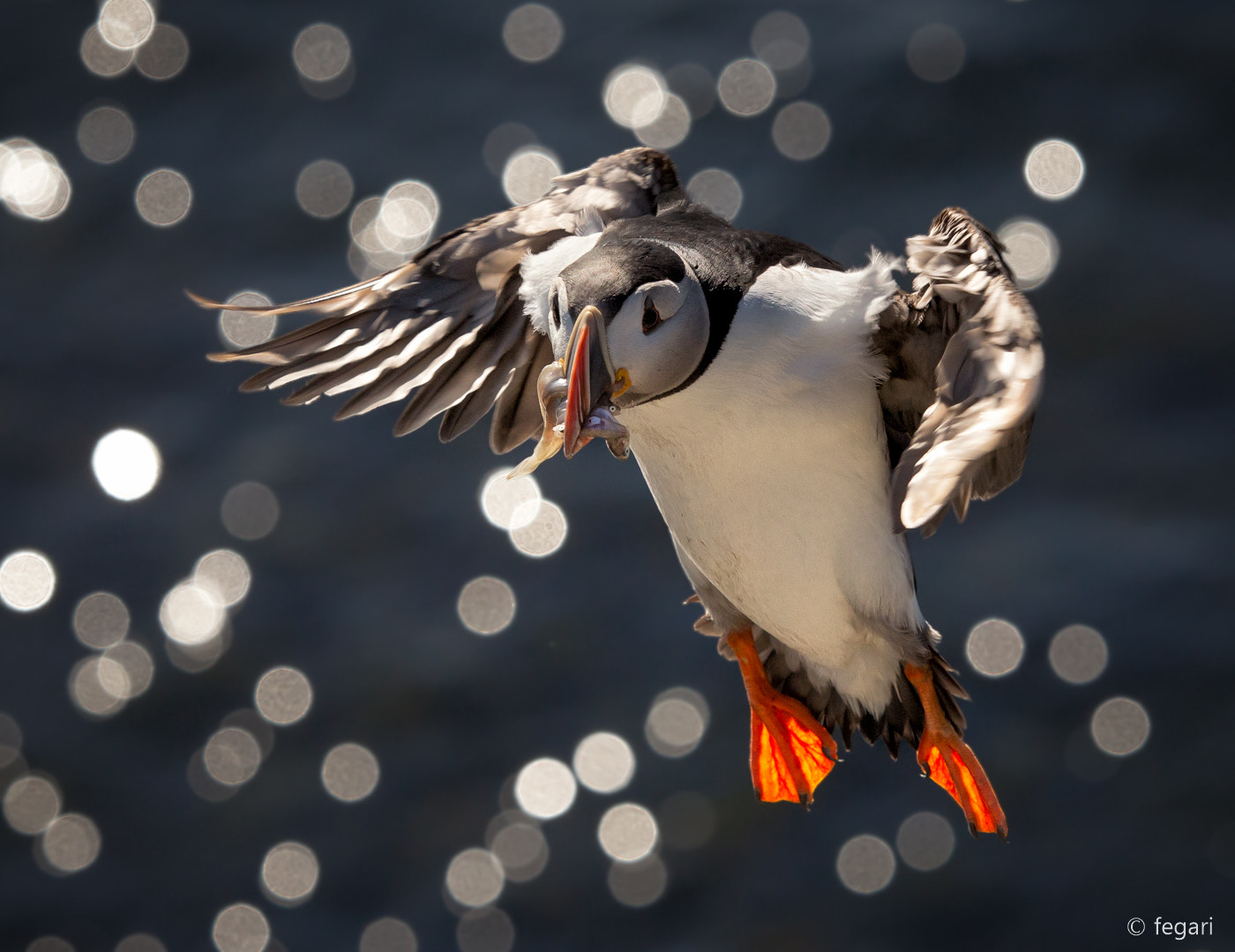 Photograph Puffin Business by fegari . on 500px