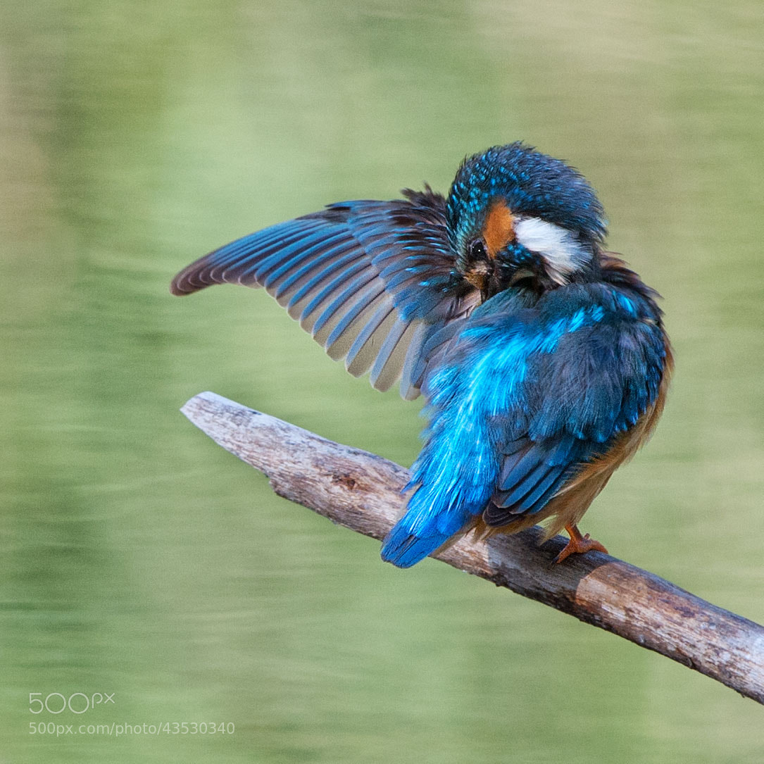 Photograph Eisvogel | Kingfisher (6) by Franz Engels on 500px