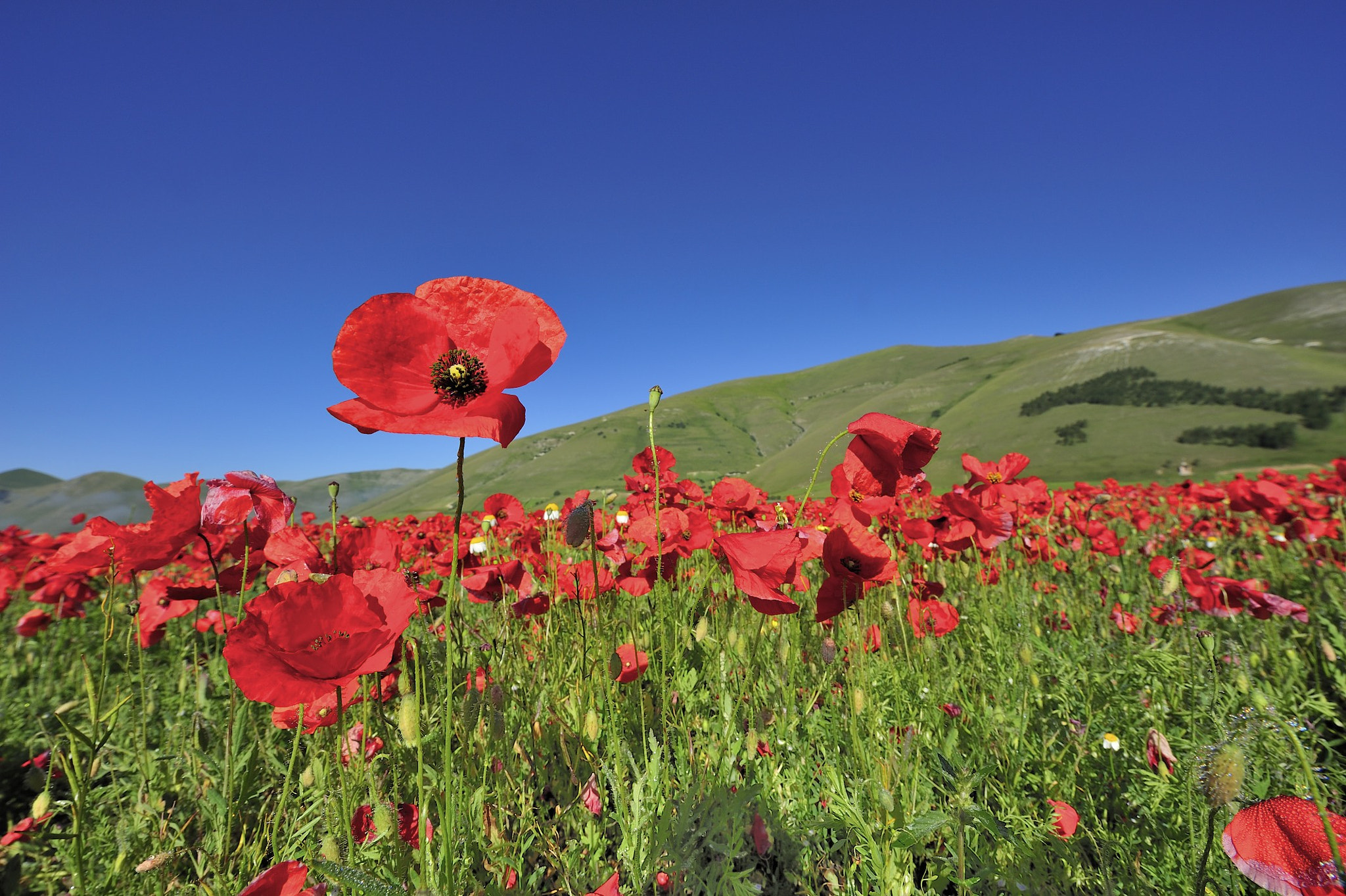 Photograph Poppys by Alessandro Galassi on 500px