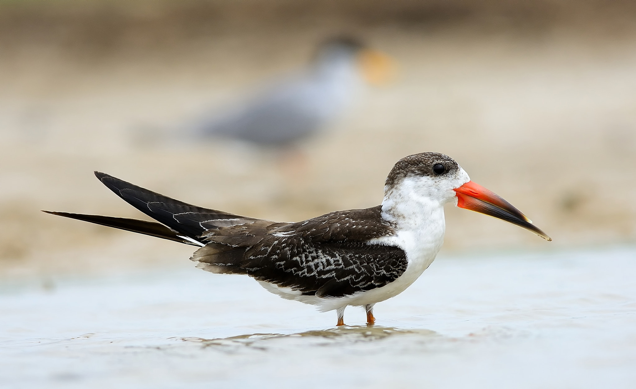 Photograph Indian Skimmer by Sunil Kini on 500px