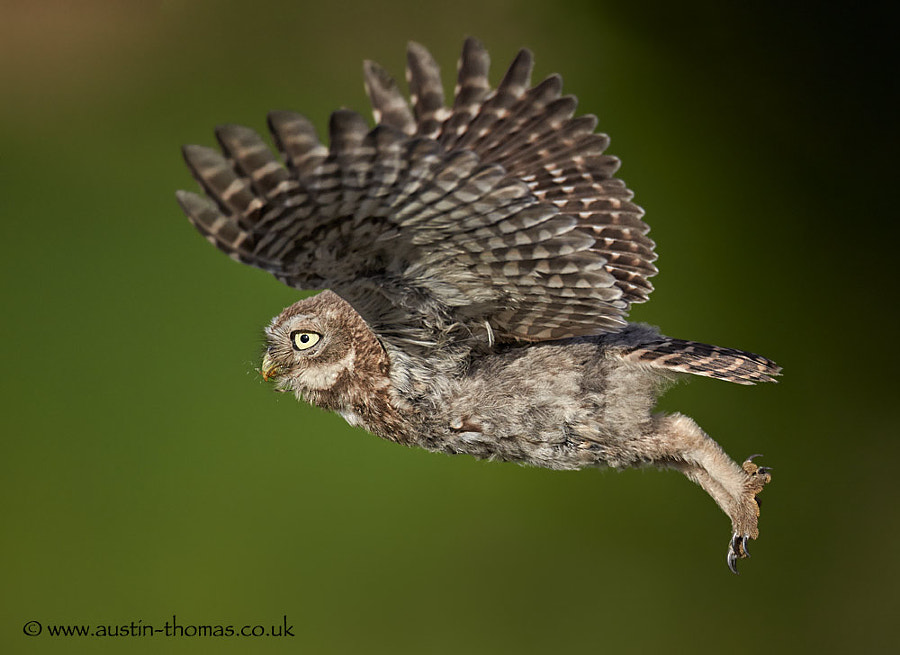 An Owlet in flight.