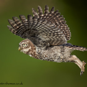 It has only taken me three years to get an in flight image of a baby Little Owl.  A Happy Sunday...
