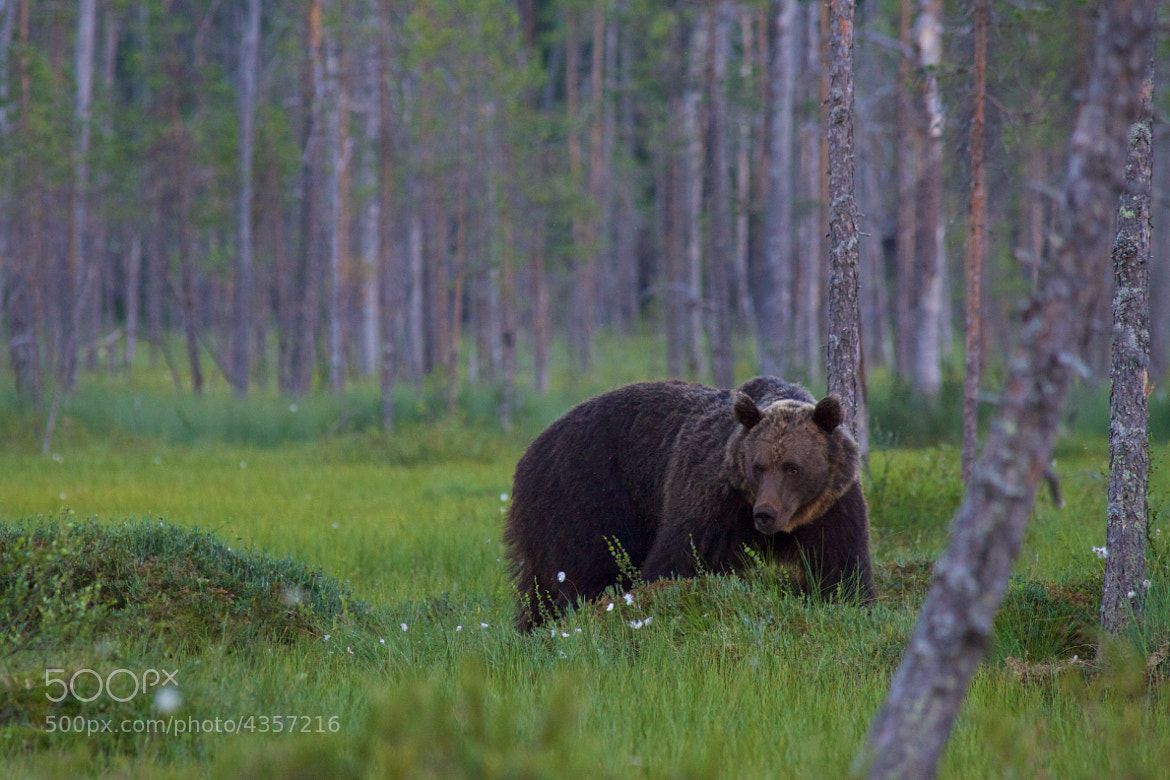 Photograph Brown bear by Jani Tamminen on 500px