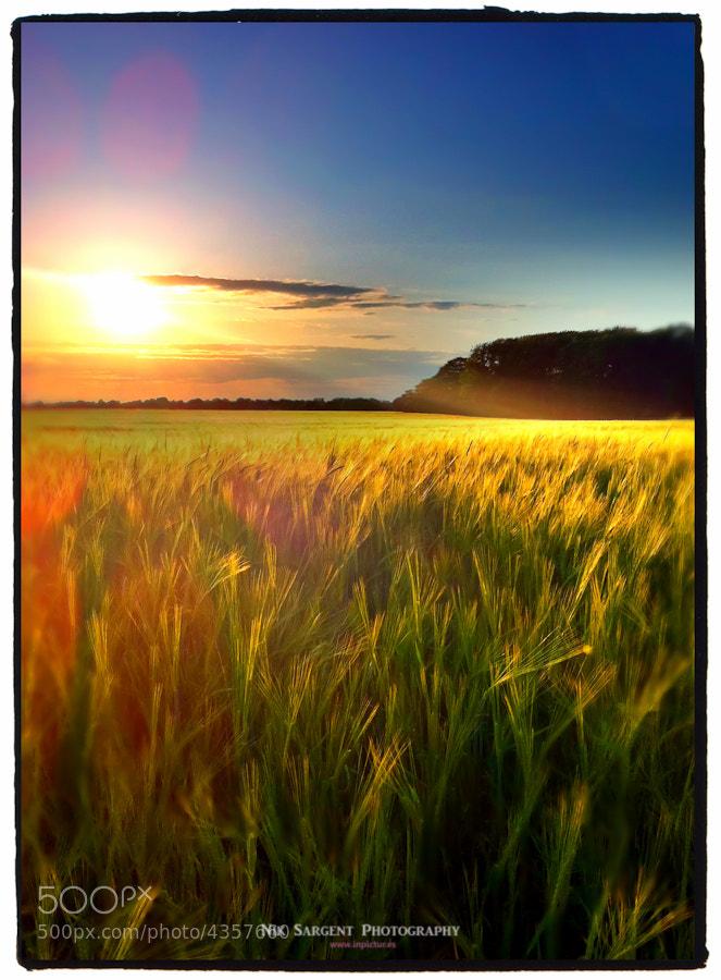 Field of crops in gentle breeze
