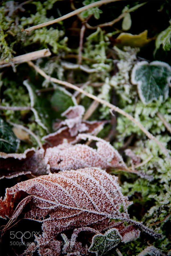 Photograph Frosty Leaves 3 by Andrew Barrow LRPS on 500px