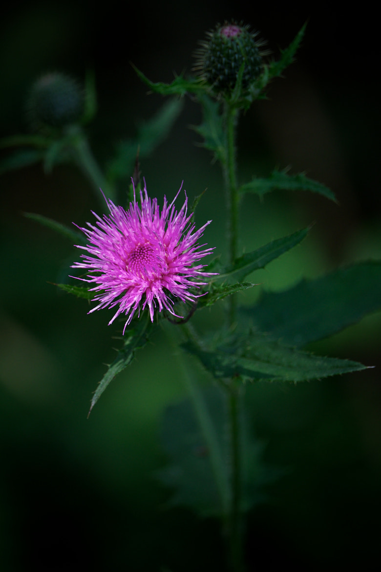Photograph Thistle by Jonathan Robson on 500px