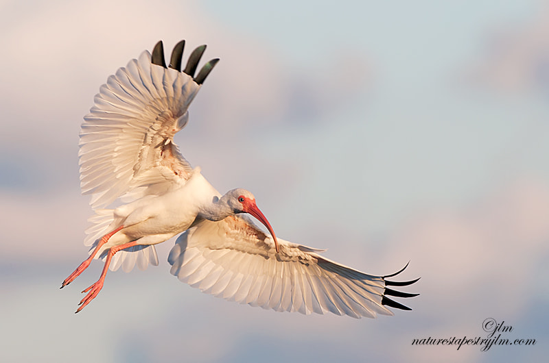 The skys are so beautifu in the evening just before sunset and a wonderful time to capture the birds coming in to roost.  This image was taken just as the ibis was about to land.