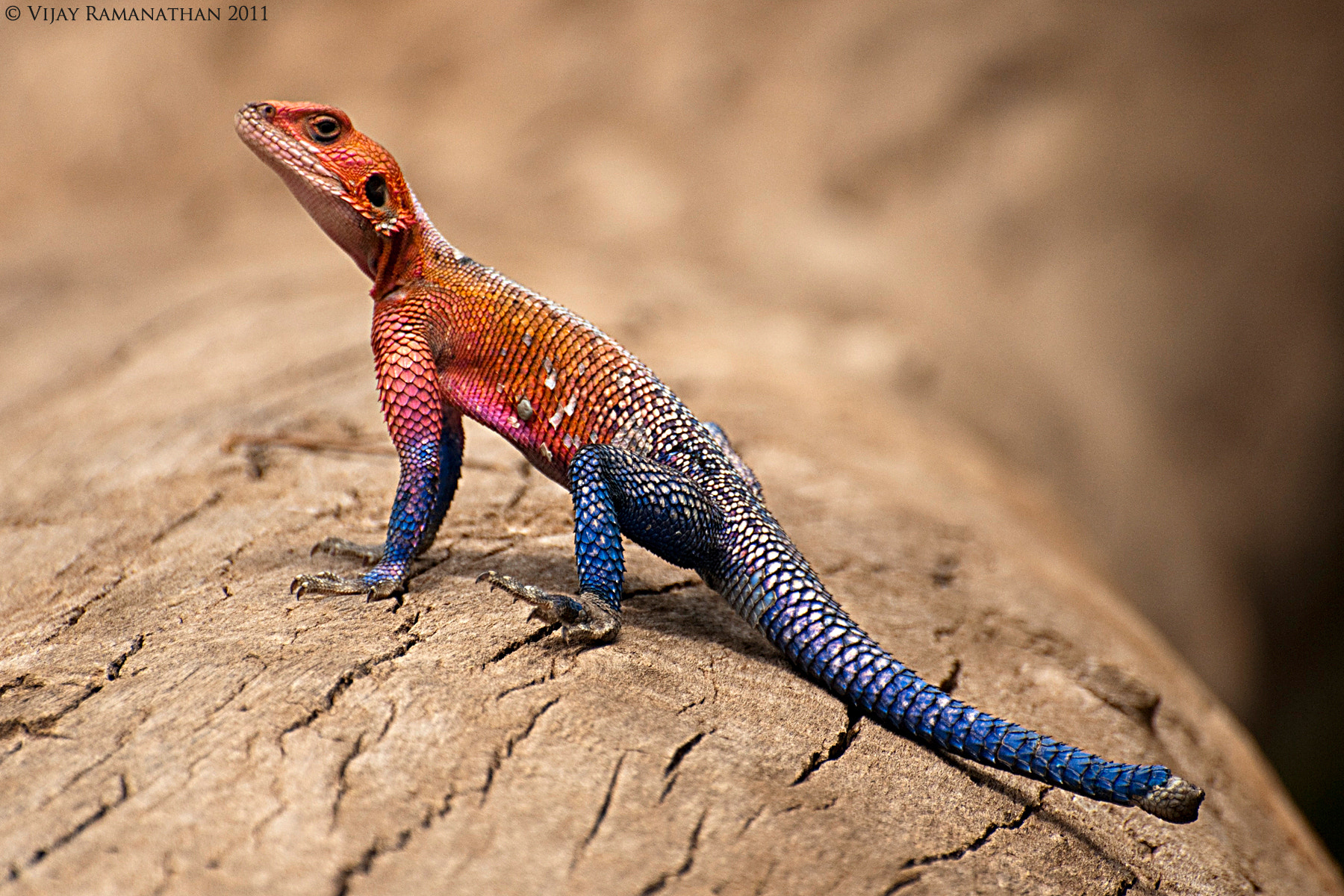 Photograph Mwanza Flat-headed Rock Agama  by Vijay Ramanathan on 500px