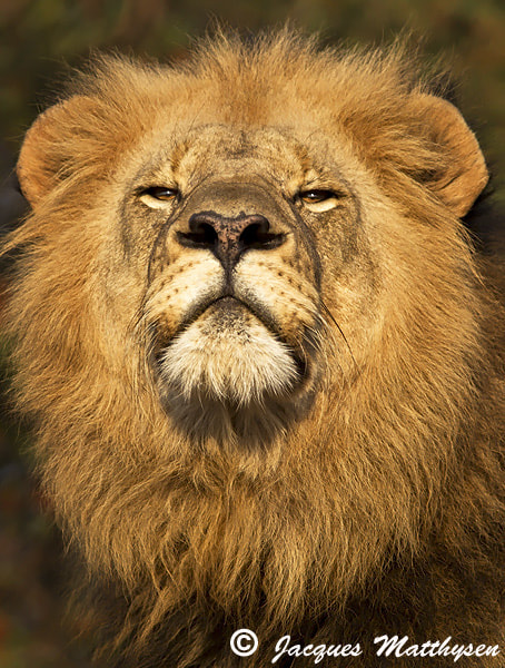 Photograph Golden King by Jacques Matthysen on 500px