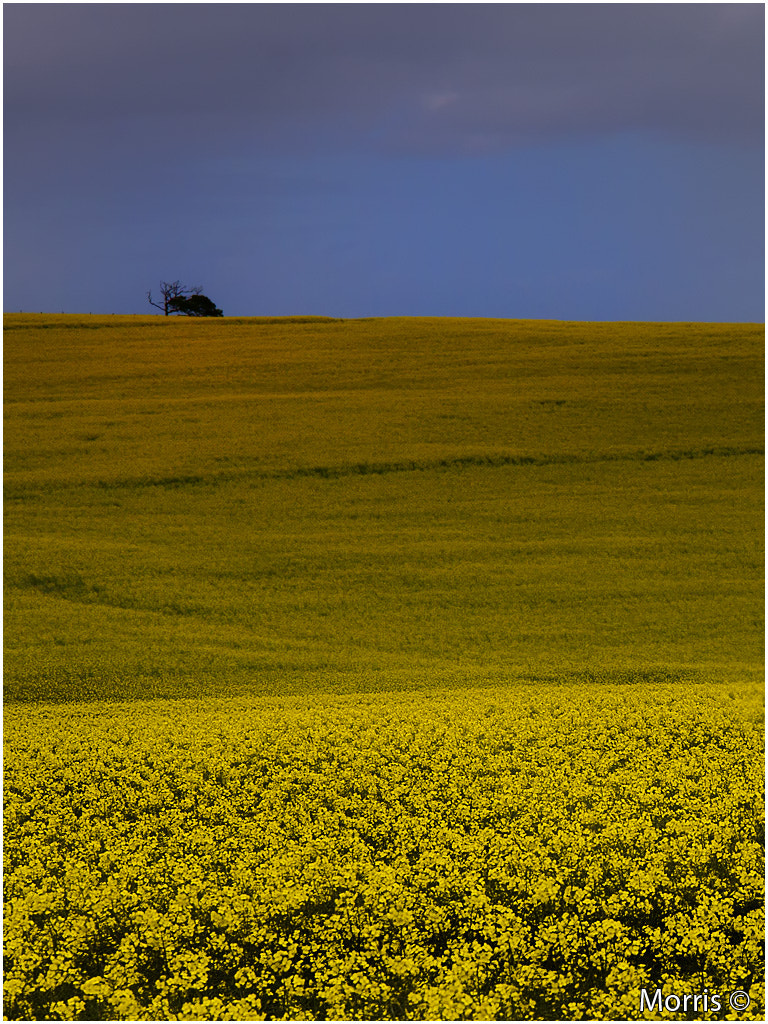 Photograph Field of Yellow by Dave Morris on 500px