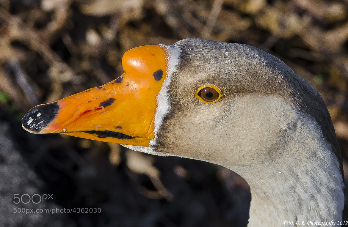 Photograph Mixed Goose by Harold Begun on 500px