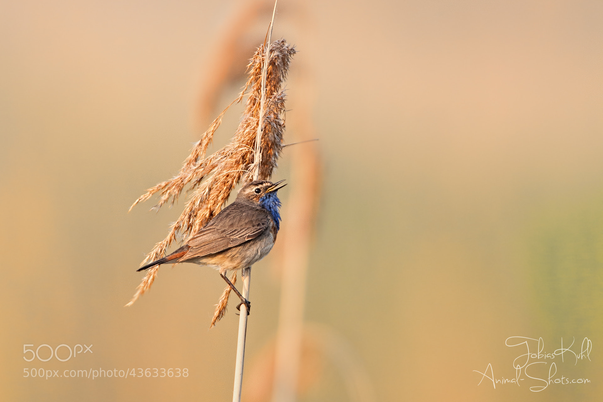Photograph Bluethroat in the morning by Tobias Kuhl on 500px