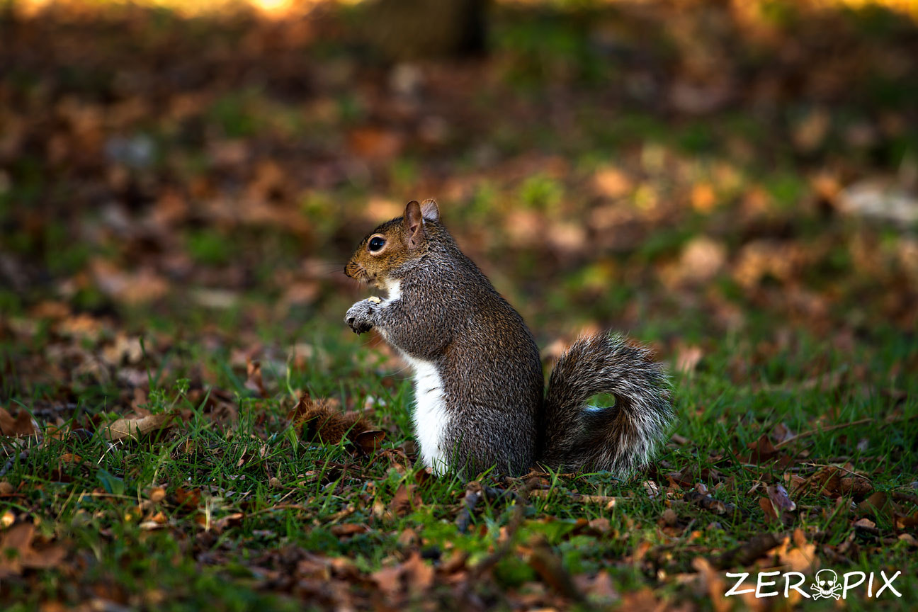 Photograph Squirrel by ZeroPix Photography on 500px