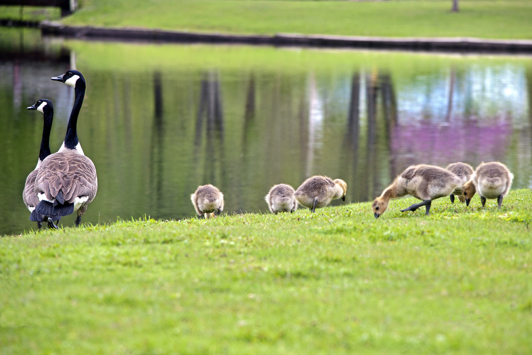 Photograph Goslings in Spring by Heather Conley on 500px