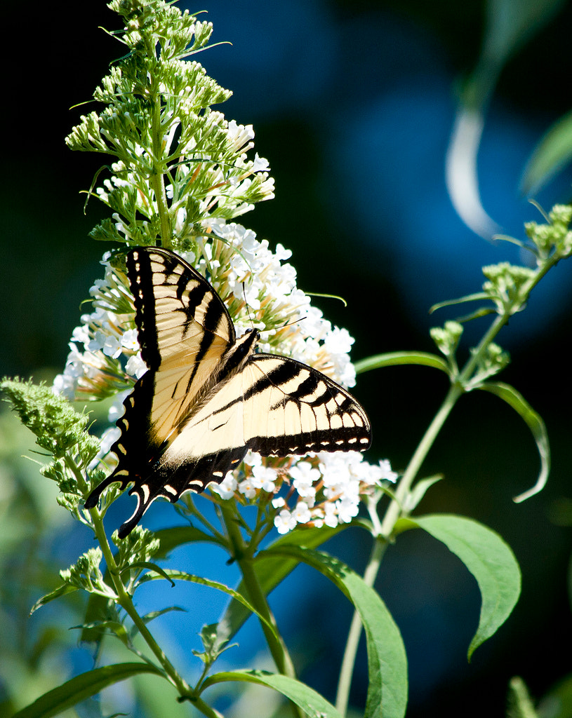 Photograph Yellow Double Swallowtail Butterfly by Heather Conley on 500px
