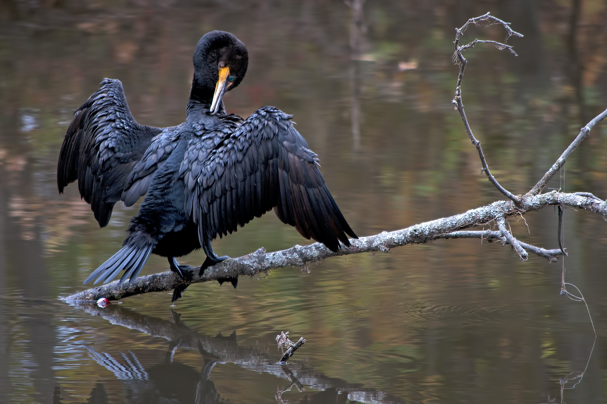 Photograph Cormorant by Heather Conley on 500px