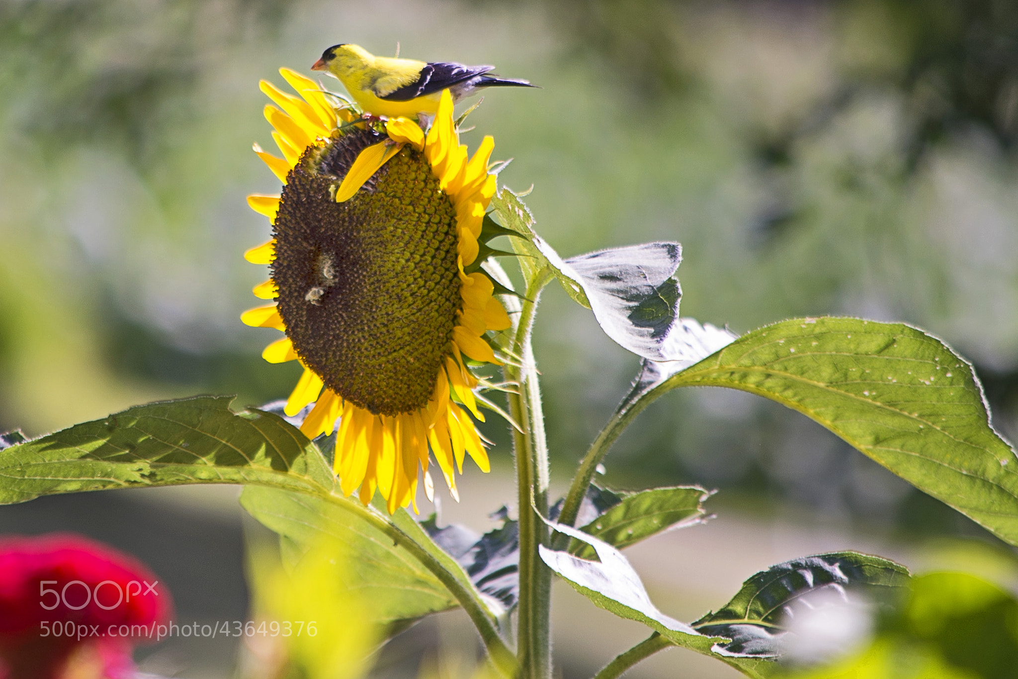 Photograph Finch on Sunflower by Heather Conley on 500px