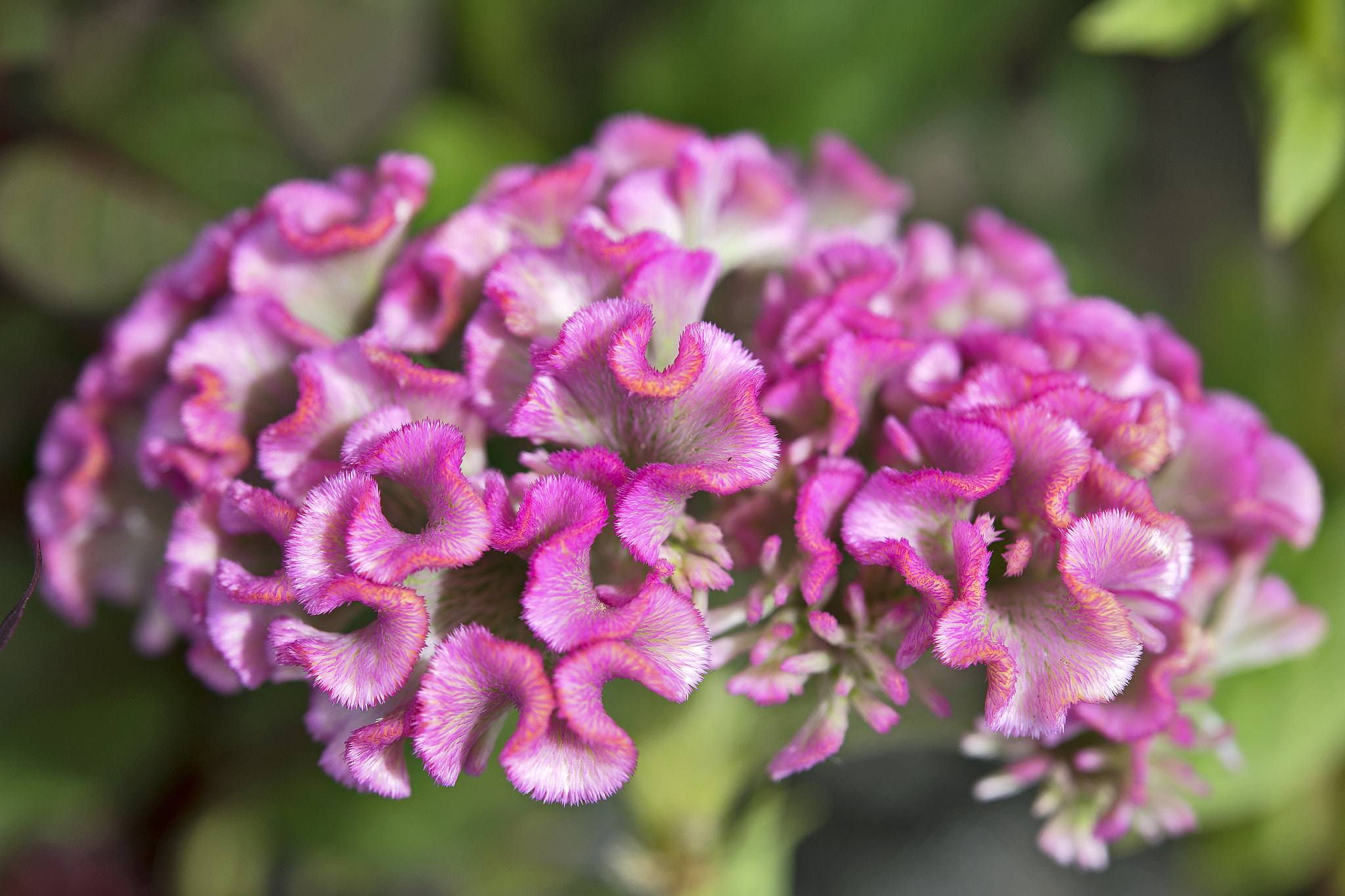 Photograph Celosia Flower by Heather Conley on 500px