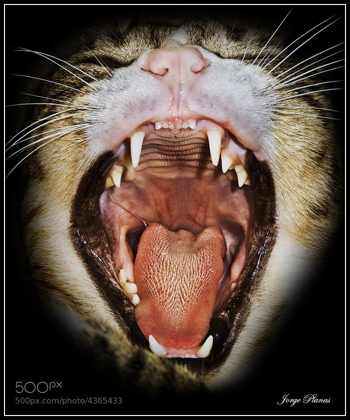 Photograph Cat big yawn by Jorge Planas on 500px