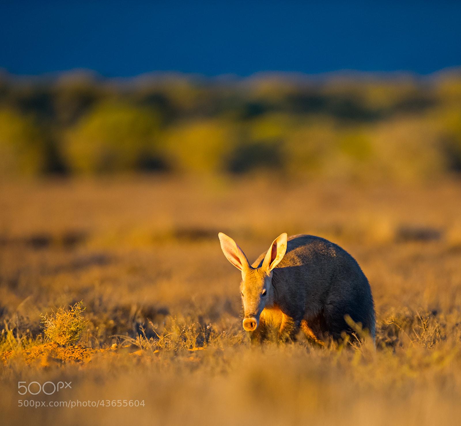 Photograph Aardvark / Ant-bear by Bridgena Barnard on 500px