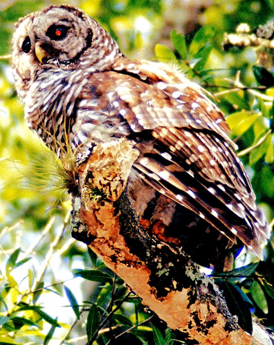 Photograph Barred Owl Rests High Up (WILD) by George McGinn on 500px