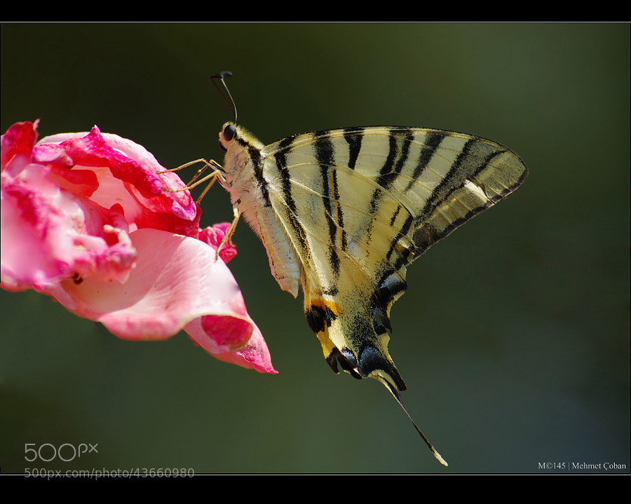 "Swallow Tailed Butterfly. by Mehmet Çoban on 500px.com"" border=""0"" style=""margin: 0 0 5px 0;"