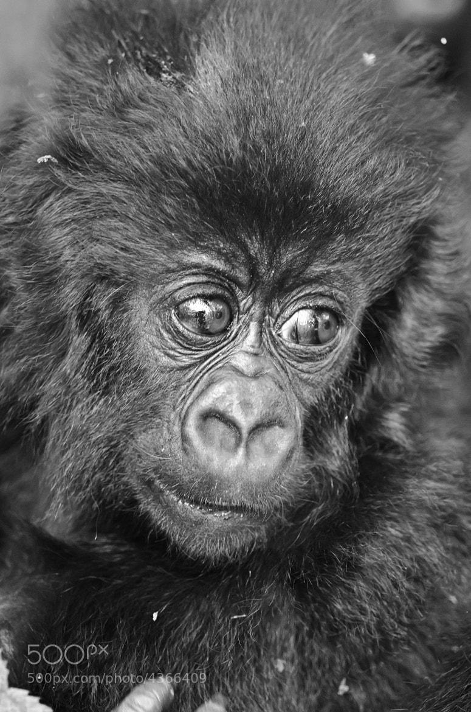 Photograph Baby Mountain Gorilla by Luke Millward on 500px
