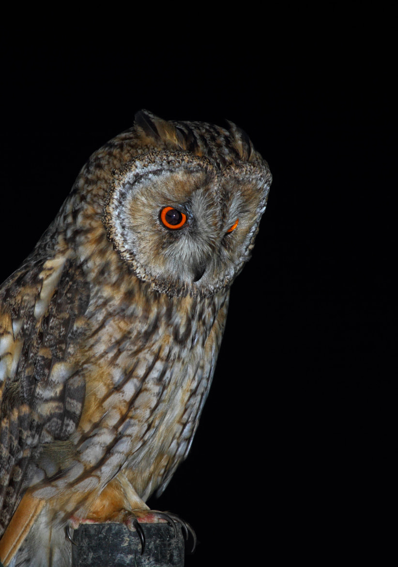 Photograph  Long-eared owl by Abdulkadir Abaz on 500px