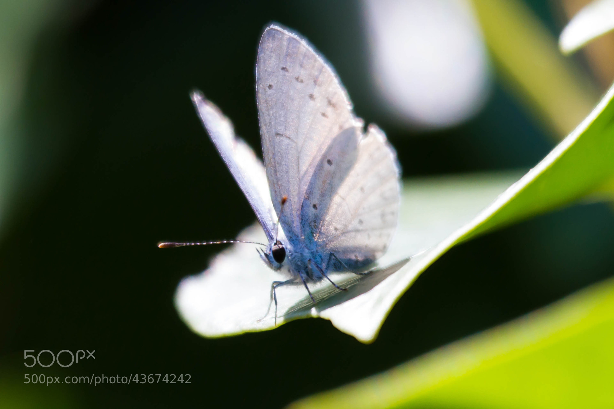 Photograph Lycaenidae - Small Blue by Marc Guille on 500px