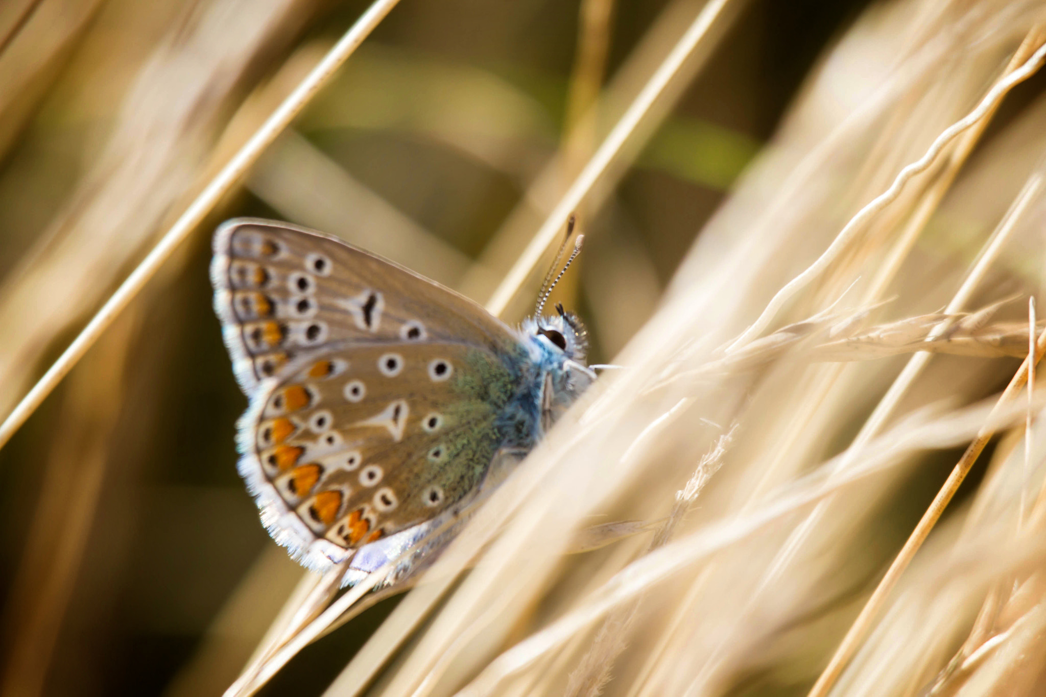 Photograph Lycaenidae - Silver Studded Blue by Marc Guille on 500px