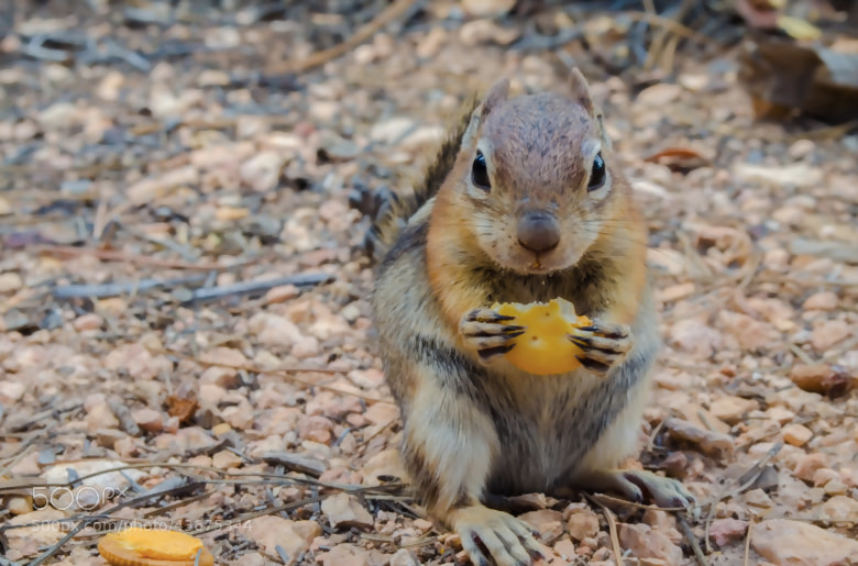 Photograph The Ritz Cracker Squirrel by Adam Lipsey on 500px