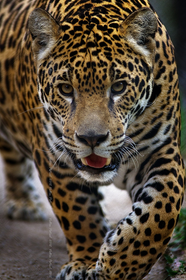 Photograph Panthera onca - Onça-pintada by Valter Patrial on 500px