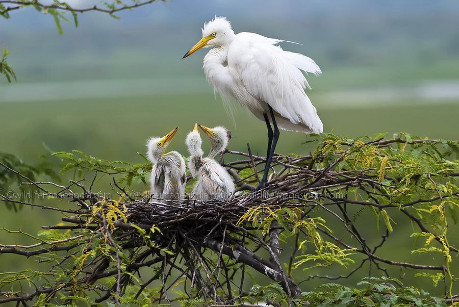 Photograph Egret mother with chicks by Sanjay Tiwari on 500px