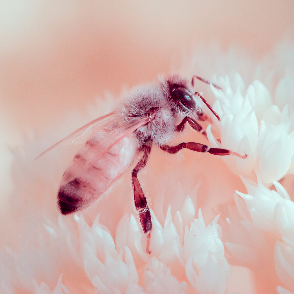 Photograph Honeybee on Sedum in Infrared by Stewart Tansley on 500px