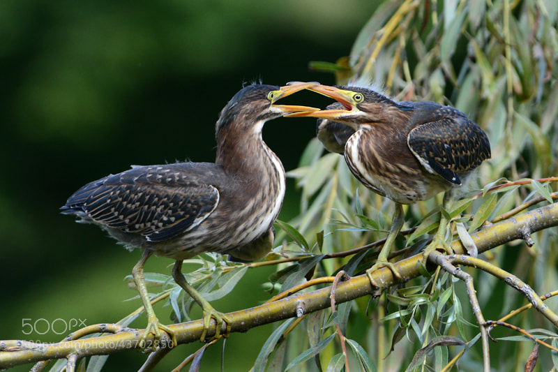Photograph Green Heron 08/2013 # 1 by henry wong on 500px
