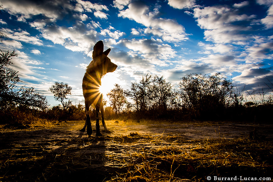 An African Wild Dog photographed with BeetleCam in Zimbabwe.